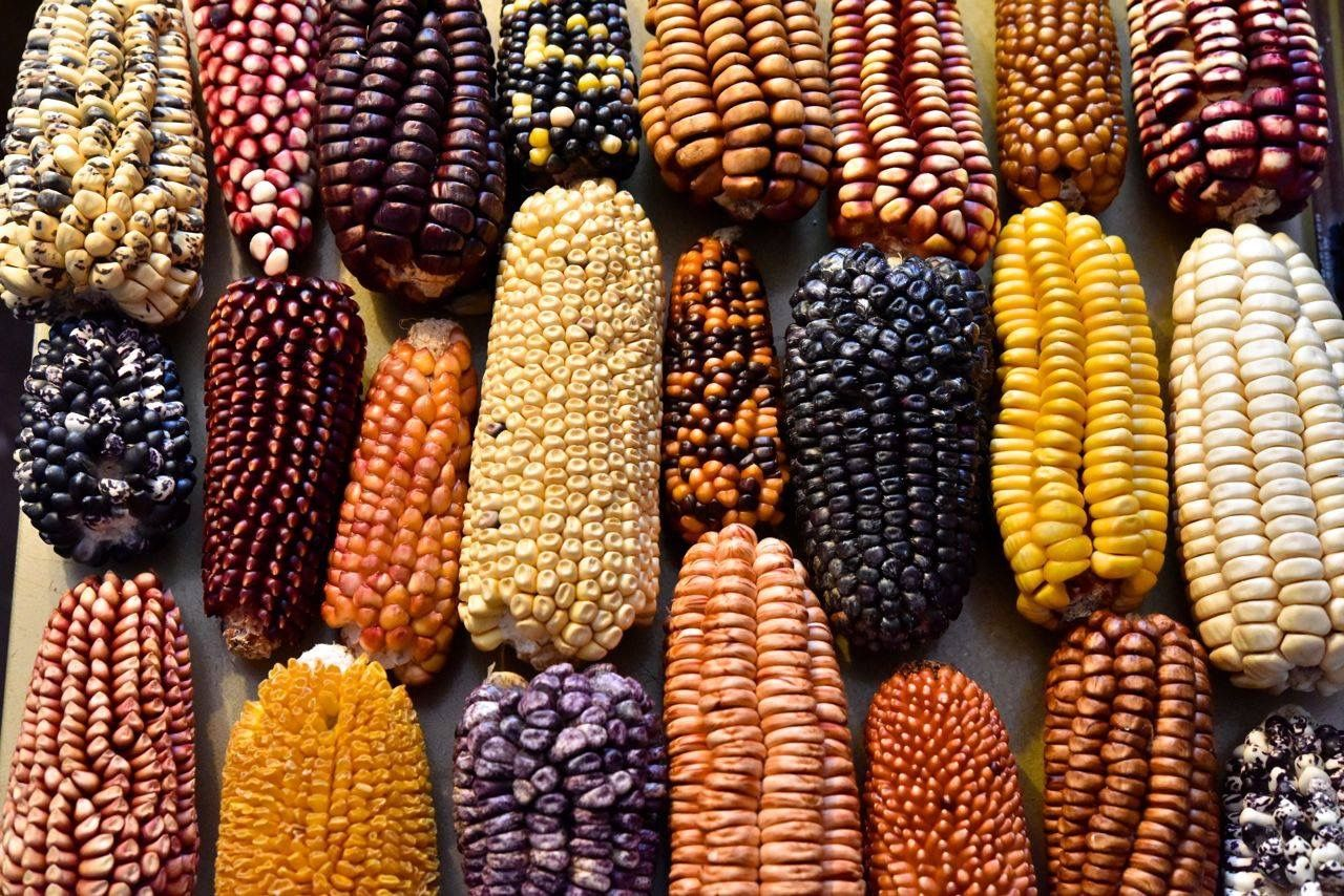 El maíz y su herencia milenaria en México - Velas Magazine